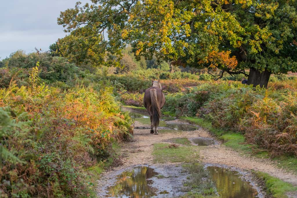 pony walking down path in forest, One of many things to do in the New Forest.